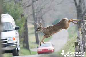 A Texas white-tailed deer attempting to cross a road.