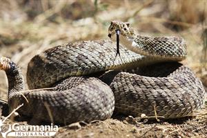 Texas rattlesnake in a defensive coil