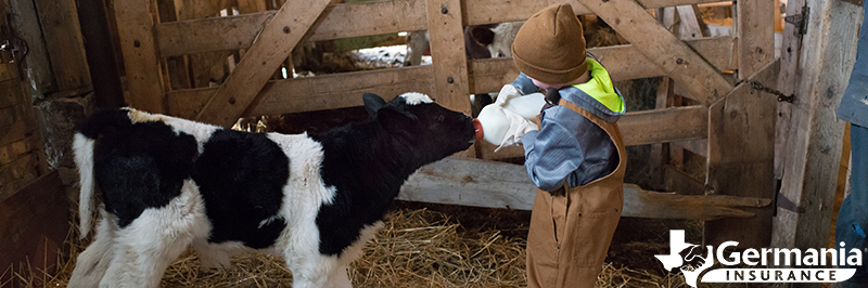 A boy feeding a calf as part of educational agritourism