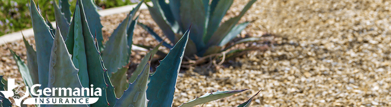 Agaves in a bed of gravel, practicing xeriscaping.